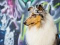 Langhaarcollie_Rough_Collie_Gaia_bluemerle_Marburg_Grafitti_wand_Bunt_Stadthund_Stadt (15)