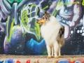 Langhaarcollie_Rough_Collie_Gaia_bluemerle_Marburg_Grafitti_wand_Bunt_Stadthund_Stadt (7)