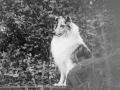 Langhaarcollie_Rough_Collie_Gaia_bluemerle_Hundefotografie_Tierfotografie_Marburg_Rauischholzhausen_Wald_Herbst_fotografin_Christine_Hemlep (2).jpg