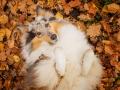 Hundemaedchen_Gaia_Langhaarcollie_Collie_Rough_bluemerle_Hundefotografie_Hund_Fotografin_Christine_Hemlep (13)