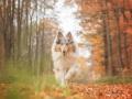Hundemaedchen_Gaia_Langhaarcollie_Collie_Rough_bluemerle_Hundefotografie_Hund_Fotografin_Christine_Hemlep (23)