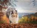 Hundemaedchen_Gaia_Langhaarcollie_Collie_Rough_bluemerle_Hundefotografie_Hund_Fotografin_Christine_Hemlep (27)