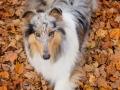 Hundemaedchen_Gaia_Langhaarcollie_Collie_Rough_bluemerle_Hundefotografie_Hund_Fotografin_Christine_Hemlep (5)