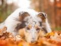 Hundemaedchen_Gaia_Langhaarcollie_Collie_Rough_bluemerle_Hundefotografie_Hund_Fotografin_Christine_Hemlep (7)