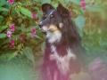 Border_Collie_Mischling_Maggy_tricolor_Senior_Hundefotografie_Marburg_Tierfotografie_Lahn_Springkraut_Blumen (1).jpg
