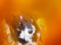 Border_Collie_Mischling_Maggy_tricolor_Senior_Herbstblatt_Herbst_Blatt_bunt_Lauf_Hundefotografie_Marburg_Tierfotografie (5).jpg