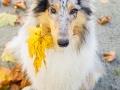 Langhaarcollie_Rough_Collie_Gaia_bluemerle_Herbstblatt_Herbst_Blatt_bunt_Lauf_Hundefotografie_Marburg_Tierfotografie (13).jpg