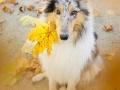 Langhaarcollie_Rough_Collie_Gaia_bluemerle_Herbstblatt_Herbst_Blatt_bunt_Lauf_Hundefotografie_Marburg_Tierfotografie (15).jpg