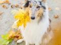Langhaarcollie_Rough_Collie_Gaia_bluemerle_Herbstblatt_Herbst_Blatt_bunt_Lauf_Hundefotografie_Marburg_Tierfotografie (17).jpg