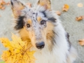 Langhaarcollie_Rough_Collie_Gaia_bluemerle_Herbstblatt_Herbst_Blatt_bunt_Lauf_Hundefotografie_Marburg_Tierfotografie (7).jpg