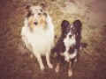 Hundemaedchen_Maggy_Gaia_Langhaarcollie_Border_Collie_Rough_Mix_Mischling_bluemerle_Tricolor_Hund_Hundefreunde (3)