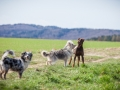 Hundefreunde_Marburg_Hundefotografie_Tierfotografie_HemlepFotografie_Gassi_Spaziergang_Hund_Coelbe_MR_Spass_Gruppe_Hunde (36).jpg