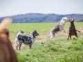 Hundefreunde_Marburg_Hundefotografie_Tierfotografie_HemlepFotografie_Gassi_Spaziergang_Hund_Coelbe_MR_Spass_Gruppe_Hunde (37).jpg