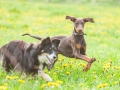 Hundefreunde_Marburg_Hunde_Spaziergang_Treffen_Dobermann_Collie_Windhund_Mischling_Leonberger_Border_Collie_Maggy_Gaia_Spencer_Alice_Mascha_Arya (18).jpg