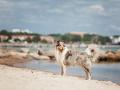 Hundemaechen_Gaia_Langhaarcollie_Rough_Collie_Eckernfoerde_Hundestrand_Ostsee_Schleswig-Holstein_Strand_Sand_Meer (42)