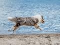 Hundemaechen_Gaia_Langhaarcollie_Rough_Collie_Eckernfoerde_Hundestrand_Ostsee_Schleswig-Holstein_Strand_Sand_Meer (64)