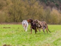 Hundetreffen_Spaziergang_Maggy_Border_Collie_Mischling_Gaia_Langhaarcollie_Dahra_Fuyumi_Akita_InU_Bella_Basima_Greyhound_Windhund_Beagle_Dobermann_Spencer (73)
