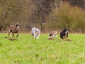 Hundetreffen_Spaziergang_Maggy_Border_Collie_Mischling_Gaia_Langhaarcollie_Dahra_Fuyumi_Akita_InU_Bella_Basima_Greyhound_Windhund_Beagle_Dobermann_Spencer (85)