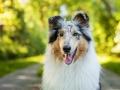 Hundemaedchen_Hundefotografie_Urlaub_Spaziergang_Hund_Gaia_Rough_Collie_Langhaarcollie_Bluemerle_Moor (10)
