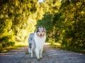 Hundemaedchen_Hundefotografie_Urlaub_Spaziergang_Hund_Gaia_Rough_Collie_Langhaarcollie_Bluemerle_Moor (3)