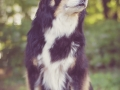 Tierfotografie_Hundefotografie_Marburg_Fotografin_Christine_Hemlep_Hund_Border_Collie_tricolor_senior_Maggy (3)