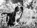 Tierfotografie_Hundefotografie_Marburg_Fotografin_Christine_Hemlep_Hund_Border_Collie_tricolor_senior_Maggy (6)