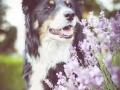 Tierfotografie_Hundefotografie_Marburg_Fotografin_Christine_Hemlep_Hund_Border_Collie_tricolor_senior_Maggy (9)