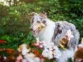 Tierfotografie_Hundefotografie_Marburg_Fotografin_Christine_Hemlep_Hund_Langhaarcollie_Collie_bluemerle_Gaia (5)
