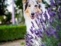 Tierfotografie_Hundefotografie_Marburg_Fotografin_Christine_Hemlep_Hund_Langhaarcollie_Collie_bluemerle_Gaia.jpg (7)