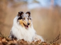 Langhaarcollie_Rough_Collie_Gaia_bluemerle_Hundefotografie_Tierfotografie_Fotografin_Christine_Hemlep_Wald_Herbst_Laub (11).jpg