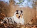 Langhaarcollie_Rough_Collie_Gaia_bluemerle_Hundefotografie_Tierfotografie_Fotografin_Christine_Hemlep_Wald_Herbst_Laub (19).jpg