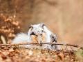 Langhaarcollie_Rough_Collie_Gaia_bluemerle_Hundefotografie_Tierfotografie_Fotografin_Christine_Hemlep_Wald_Herbst_Laub (29).jpg