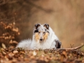 Langhaarcollie_Rough_Collie_Gaia_bluemerle_Hundefotografie_Tierfotografie_Fotografin_Christine_Hemlep_Wald_Herbst_Laub (31).jpg