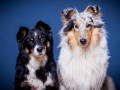 Langhaarcollie_Rough_Collie_bluemerle_Gaia_Langhaar_Maggy_Border_tricolor_Studioaufnahme_Studio_Portrait_Portaet (1).jpg