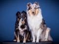 Langhaarcollie_Rough_Collie_bluemerle_Gaia_Langhaar_Maggy_Border_tricolor_Studioaufnahme_Studio_Portrait_Portaet (3).jpg