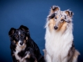 Langhaarcollie_Rough_Collie_bluemerle_Gaia_Langhaar_Maggy_Border_tricolor_Studioaufnahme_Studio_Portrait_Portaet (5).jpg