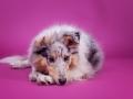 Langhaarcollie_Rough_Collie_Gaia_bluemerle_Welpe_Puppy_Baby_Weibchen_Studio_Pink_Wand_Studioaufnahme_HemlepFotografie_Marburg_Tierfotografie.jpg (7)