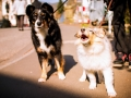 Border_Collie_Mischling_Maggy_tricolor_Langhaarcollie_Rough_Collie_Gaia_bluemerle_Welpe_Baby_Marburg (1)