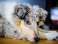 Langhaarcollie_Rough_Collie_Gaia_bluemerle_Marburg_Welpe_Baby_Puppy (5)