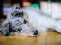 Langhaarcollie_Rough_Collie_Gaia_bluemerle_Marburg_Welpe_Baby_Puppy (9)
