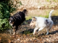 Border_Collie_Mischling_maggy_Senior_tricolor_Langhaarcollie_Rough_Gaia_bluemerle_Marburg_Lahn_wasser_Fluss_spielen_Hunde_welpe (1)