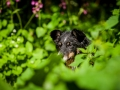 Border_Collie_Mischling_maggy_Senior_tricolor_Marburg_Lahn_wasser_Fluss_spielen_Hund_Hundefotografie_Tierfotografie (21)