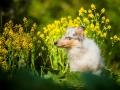 Langhaarcollie_Rough_Collie_Gaia_bluemerle_Welpe_baby_tierbaby_hundebaby_Hundewelpe_puppy_Marburg_Lahn_fluss_wasser_Hundefotografie_Tierfotografie_Hund (11)