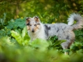 Langhaarcollie_Rough_Collie_Gaia_bluemerle_Welpe_baby_tierbaby_hundebaby_Hundewelpe_puppy_Marburg_Lahn_fluss_wasser_Hundefotografie_Tierfotografie_Hund (21)