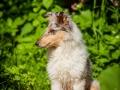 Langhaarcollie_Rough_Collie_Gaia_bluemerle_Welpe_baby_tierbaby_hundebaby_Hundewelpe_puppy_Marburg_Lahn_fluss_wasser_Hundefotografie_Tierfotografie_Hund (27)