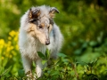 Langhaarcollie_Rough_Collie_Gaia_bluemerle_Welpe_baby_tierbaby_hundebaby_Hundewelpe_puppy_Marburg_Lahn_fluss_wasser_Hundefotografie_Tierfotografie_Hund (5)