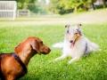 Hundebegegnung_Marburg_Gaia_Langhaarcollie_Rough_Collie_Dackel_Colja_Lahnwiese_Suedviertel_Lahn_Wiese_Freundschaft._Spielen (12).jpg