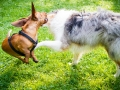 Hundebegegnung_Marburg_Gaia_Langhaarcollie_Rough_Collie_Dackel_Colja_Lahnwiese_Suedviertel_Lahn_Wiese_Freundschaft._Spielen (2).jpg