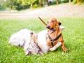 Hundebegegnung_Marburg_Gaia_Langhaarcollie_Rough_Collie_Dackel_Colja_Lahnwiese_Suedviertel_Lahn_Wiese_Freundschaft._Spielen (6).jpg