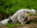 Langhaarcollie_Rough_Collie_bluemerle_welpe_Gaia_Lahnwiesen_Wiese_Marburg_Hundefotografie_Tierfotografie_Christine_Hemlep (1)